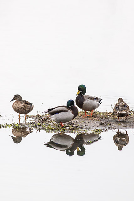 My top photo of the day, Mallards reflected.
