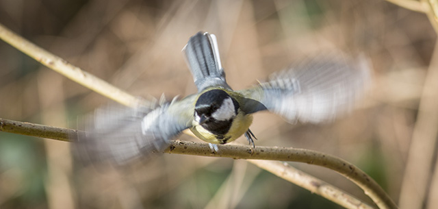 Taking to flight (a little blurred by the movement) - Great Tit