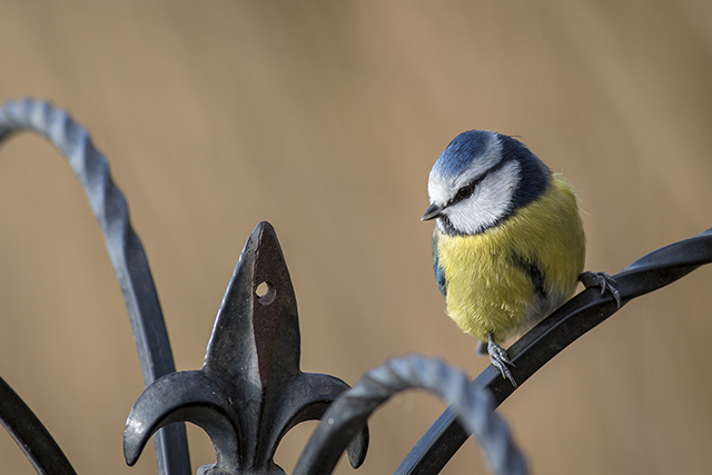 Blue Tit on Feeder Pole