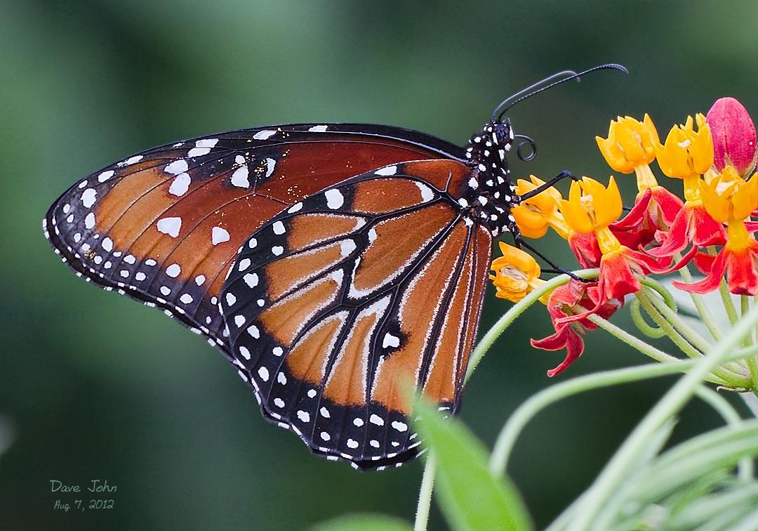 Backlit Monarch Butterfly