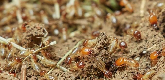 termite house