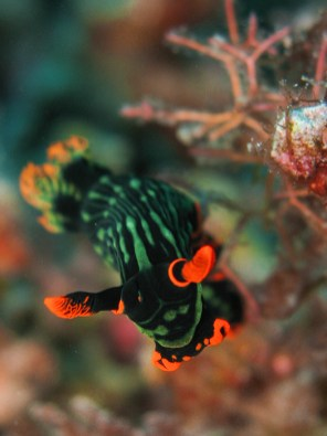 Ishigaki nudibranch
