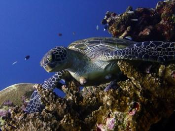 Ishigaki turtle