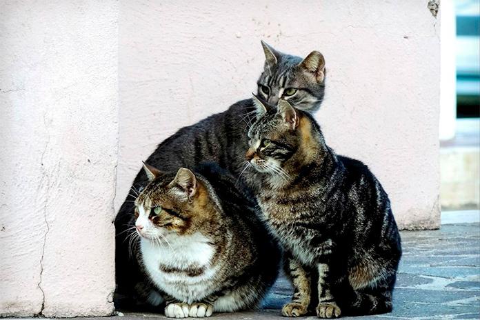 Eliminació testos d'immunodeficiència a les colònies de gats