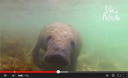 Vídeo de mergulho com o peixe-boi marinho