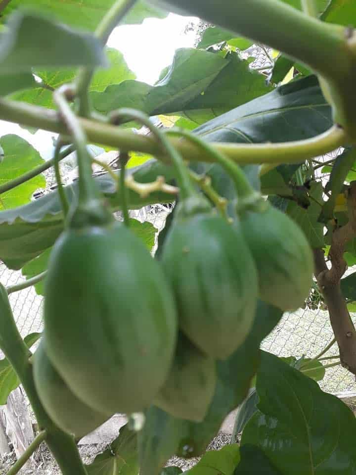 Tomate de árvore Vila Verde