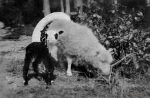 Kytömäen lampaita sota-aikana