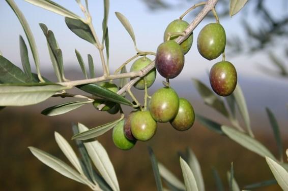 Olive grove at villa in Umbria