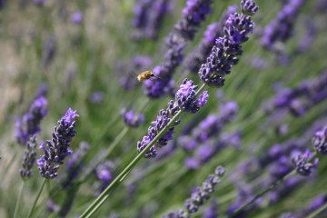 Lavender at Villa Bastiola