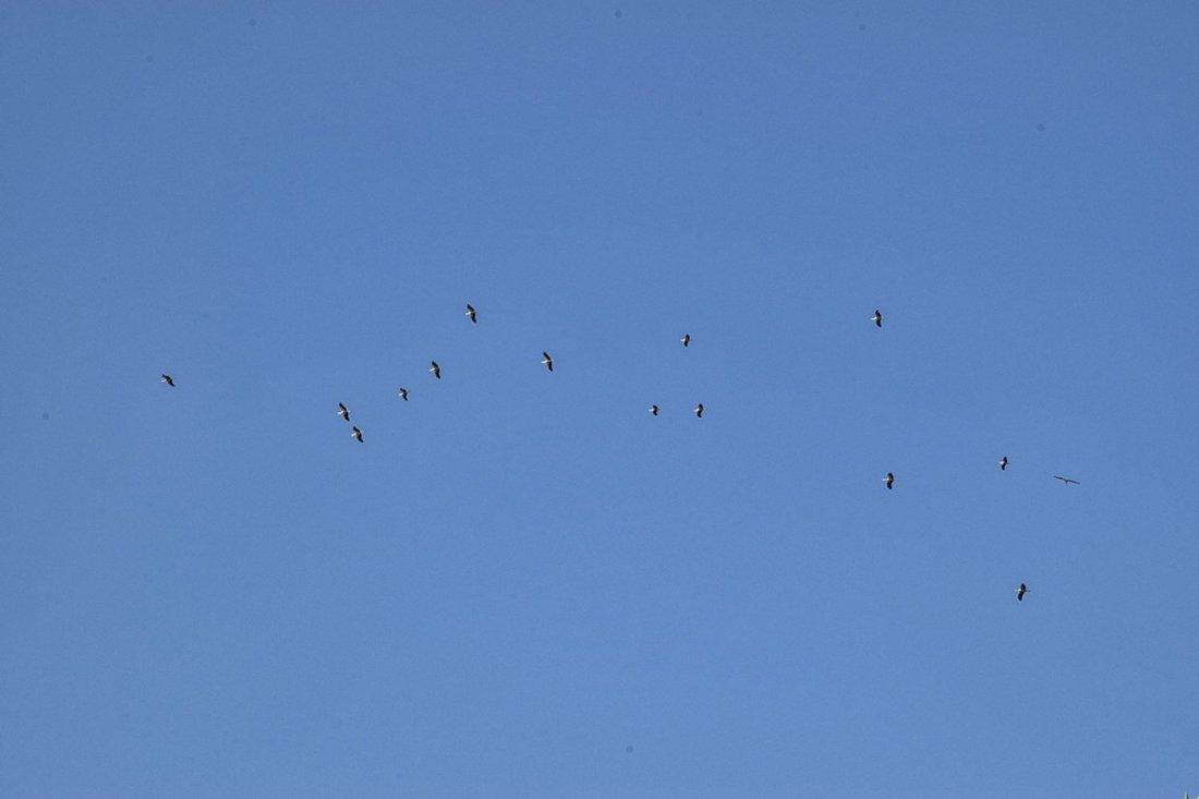Les cigognes volent au dessus de l'Ecomusée