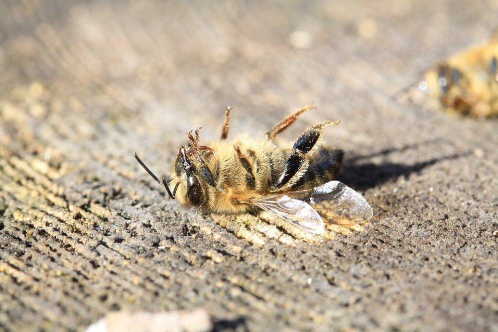 巴西三個月來五億蜜蜂死亡,俄羅斯南非等國同類情況也可能因為「它」?人類食物鏈會不會受到牽連?