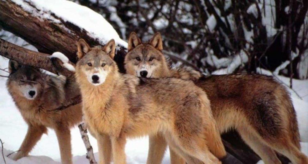 山中尋狼廿多年,日本登山者憑甚麼深信「吼神」沒有絕跡?