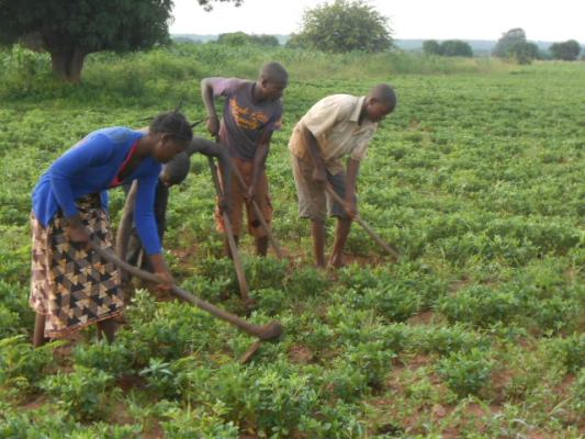 4 Beneficiary Youths cultivating peanuts