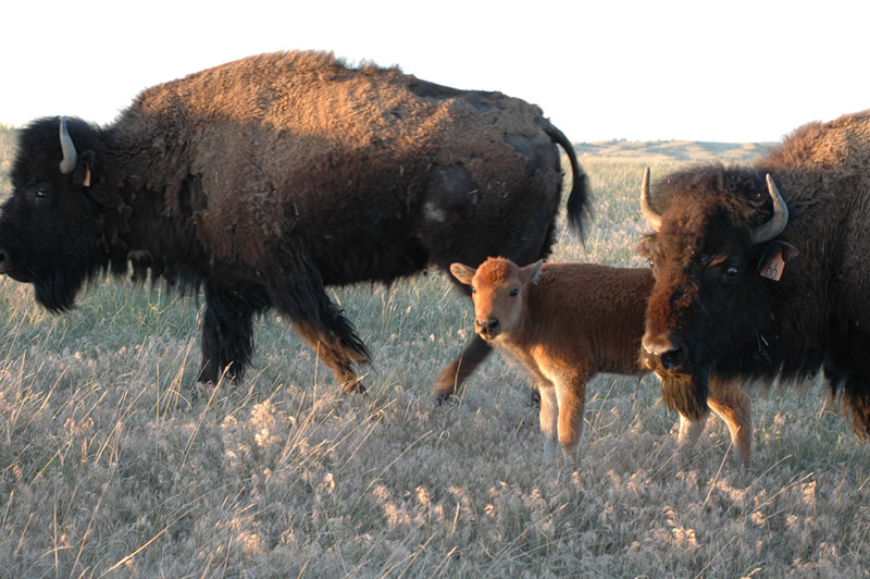 Lakota Buffalo Caretaker's Cooperative