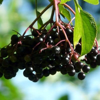 village herbals single extracts black-elderberry