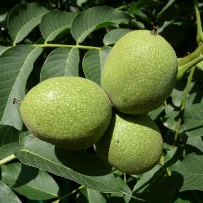 village herbals single extracts black walnut juglans_regia