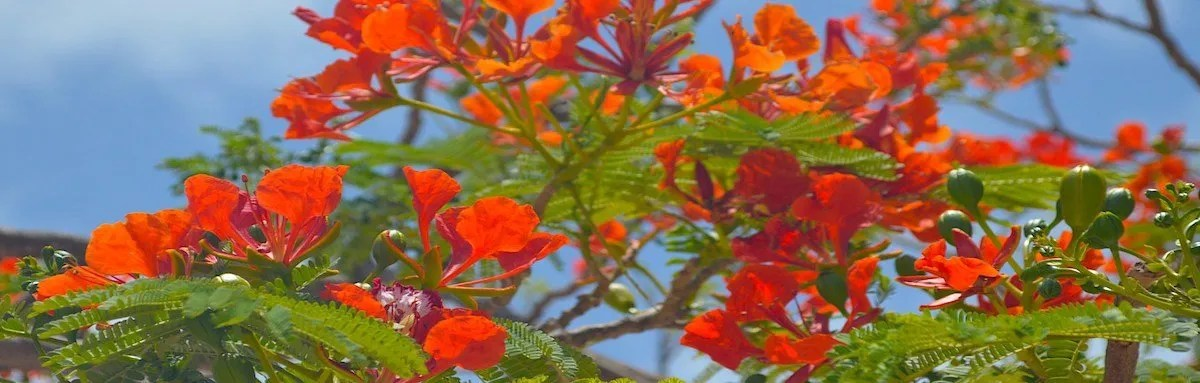 Flame Tree in Maio, Cape Verde