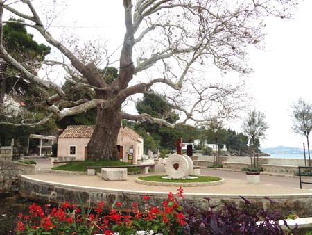 plane tree in Mlini