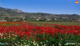Poppies in Hondon, Spain