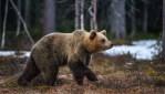 Trento, Moronese (M5s): Salviamo l'orso M49, non deve essere ammazzato