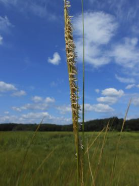 Flowering salt marsh plant, Spartina alterniflora. © DS Johnson/VIMS.