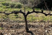 Viticulture Taille en cordon