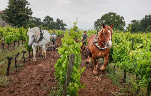 Chevaux dans les vignes