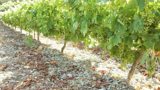Vigne d'Athiri du domaine Alexandris Family winery poussant à 700 mètres d'altitude