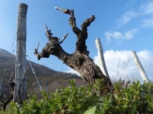 pied de vigne mondeuse de Savoie
