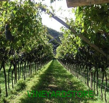 Pergola Vineyardstore En