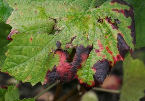 Flavescence dorée-Vinibee