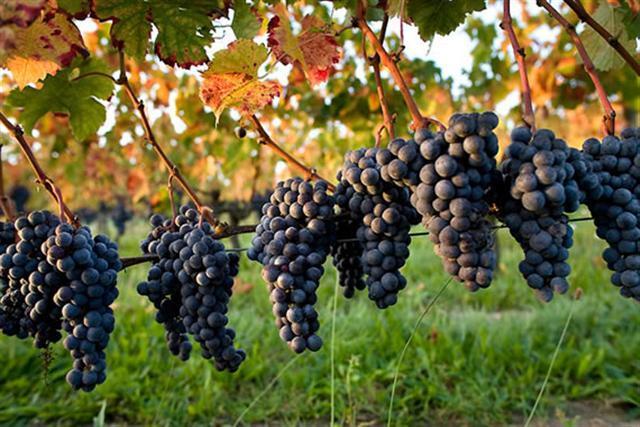 Chahut et prodiges - raisins