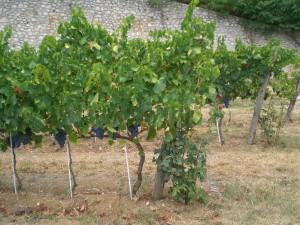 Dall'uva Tai Rosso, il vino Barbarano