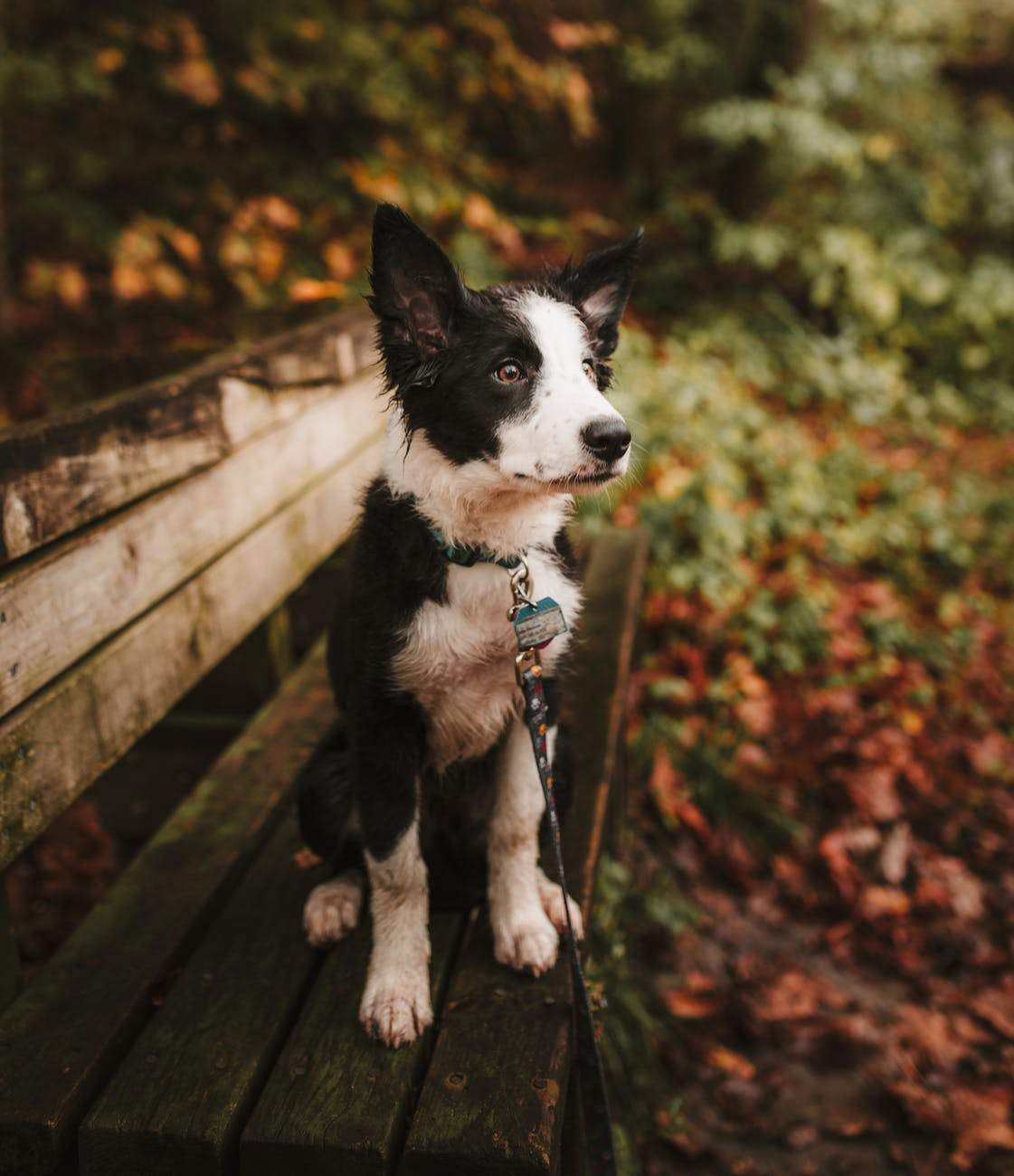 selective focus photo of a short coated white and black puppy sitting on a bench