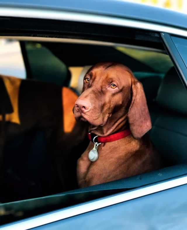 short coated brown dog sitting inside a car