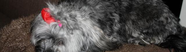 Asti hund
