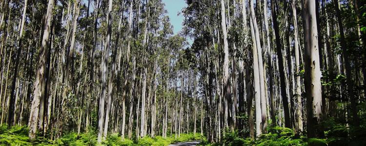 aroma-eucalipto-02