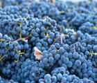 L' uva