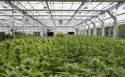 Best Marijuana Stocks to Buy 2 - Vintage Value Investing
