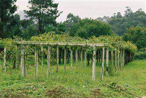 Das Erziehungssytem Cruzeta in der Vinho Verde DOC