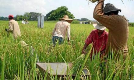 Desarrollan arroz con un sistema inmunológico resistente a múltiples enfermedades.