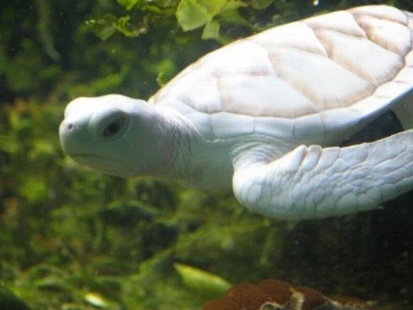 25隻令你嘖嘖稱奇的白色動物-孔雀烏龜都有全白的?