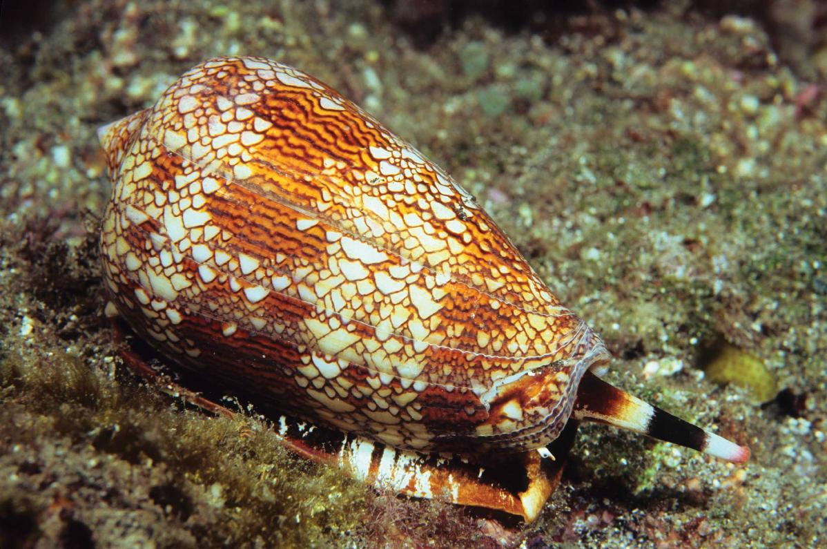 the-cone-snail