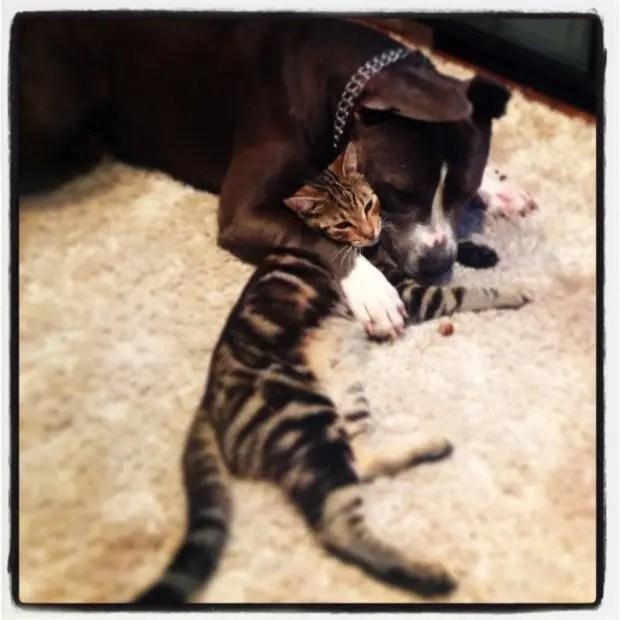 2pitbulls&gatos