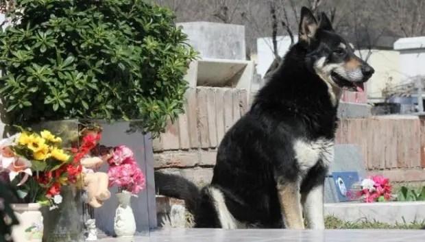 capitan el perro que cuida la tumba de su amo (4)
