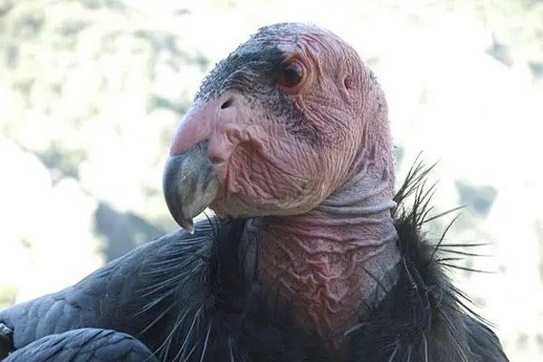 los animales mas feos condor de california
