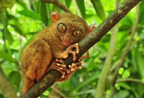 los animales mas feos mono filipino