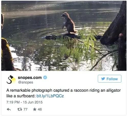 mapache-cocodrilo
