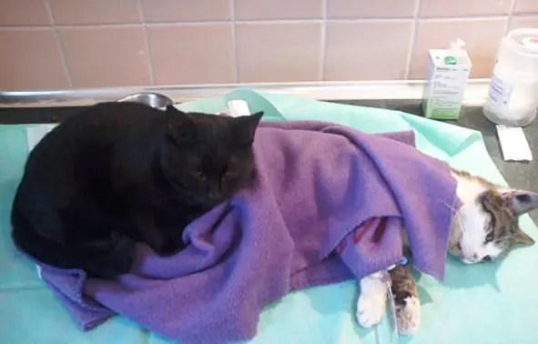 gato-negro-enfermero-calor