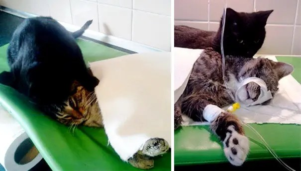 gato-negro-enfermero-mascota